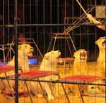 Löwen in Circussen