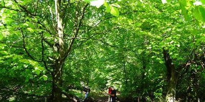 Naturschutzgebiet Urwald Sababurg,Reinhardswald in Hofgeismar