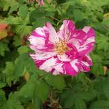 Rosenlädchen Ruf Bioland Rosenschule in Bad Nauheim