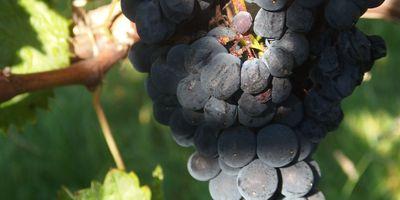 Majer's Weinscheuer Weingut Majer in Schriesheim